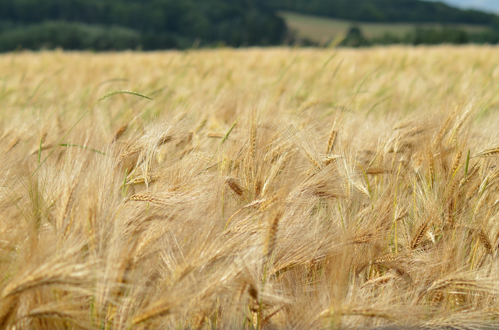 barley-1479423_1920