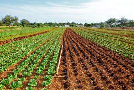 lettuce-field-1672580_1920